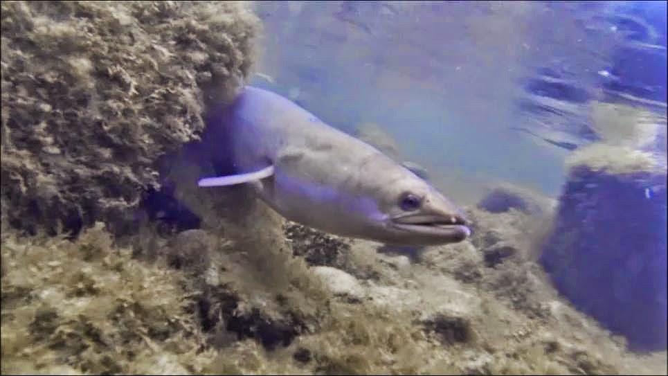 An American eel. Credit: Matt Windle.