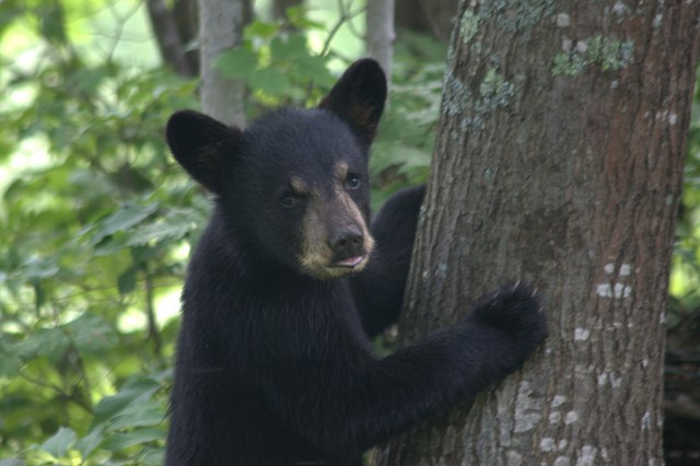 A bear cub in Wisconsin. Credit: Jon DeJong