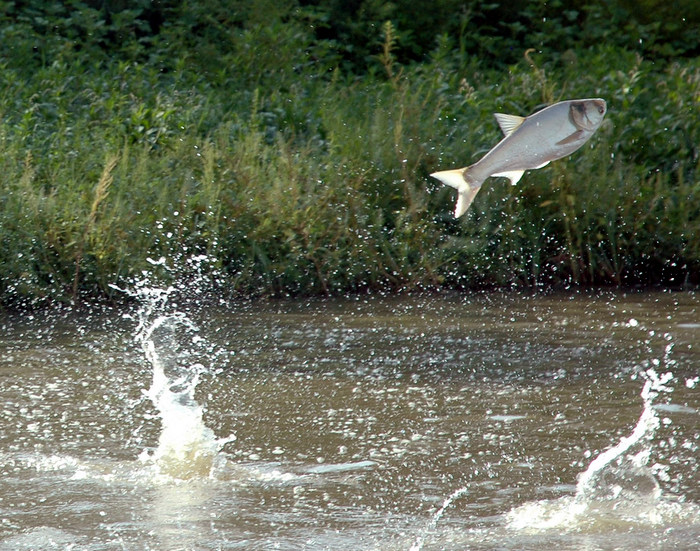 A flying silver carp, one of the invasive Asian carp species. Credit: Great Lakes Fishery Commission.