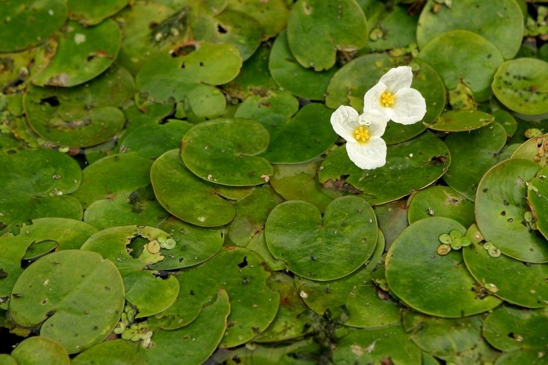 The invasive aquatic plant European frog-bit, pictured here from Lake St. Frances off the St. Lawrence River, can choke out native plants and destroy habitat for fish and other species. Credit: Denis-Carl Robidoux