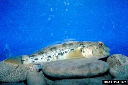 Invasive round gobies have been found in Ontario waters such as Lake Simcoe for years. Credit: Center for Great Lakes and Aquatic Sciences Archive, University of Michigan
