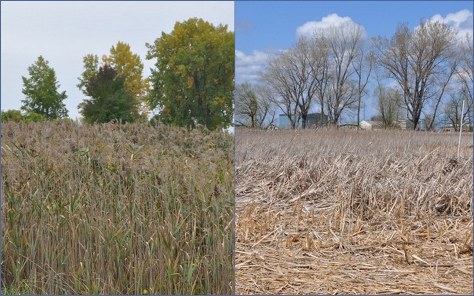 A stand of phragmites at Times Beach, pre-mechanical and chemical treatment in October 2012 (left), and post-mechanical treatment in April 2013 (right). Credit: Andrew Kornacki, USACE.