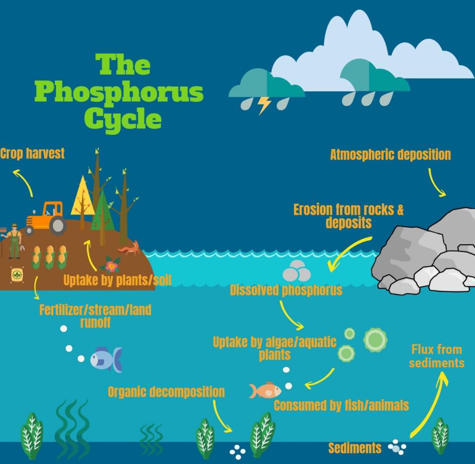 phosphorus cycle graphic ecosystem