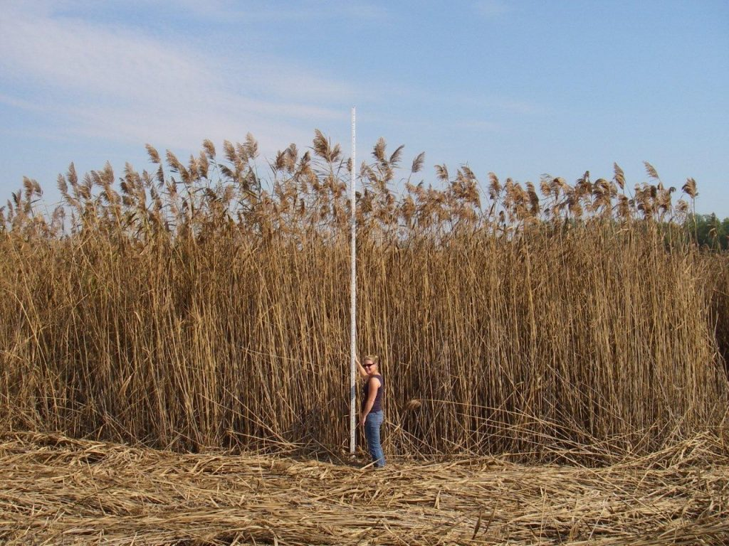 A stand of invasive phragmites plants measuring taller than five meters (more than 16 feet). Credit: Janice Gilbert, Ontario Ministry of Natural Resources and Forestry