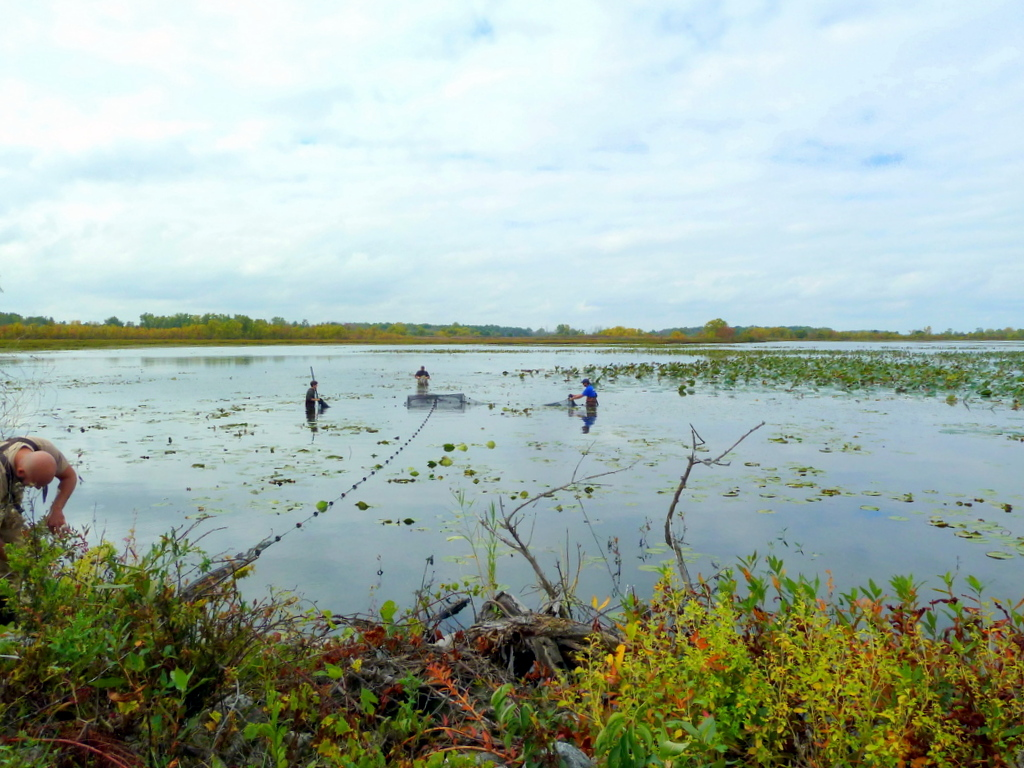 The Nature Conservancy has partnered with Ohio Sea Grant (pictured above) to monitor pre-restoration and post-restoration fish populations within project wetlands at Ottawa and Cedar Point National Wildlife Refuges. Credit: Jennifer Thieme.