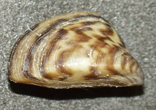 Zebra mussels have been confirmed in more waterbodies in the Rainy-Lake of the Woods basin headwaters. Credit: Wikipedia