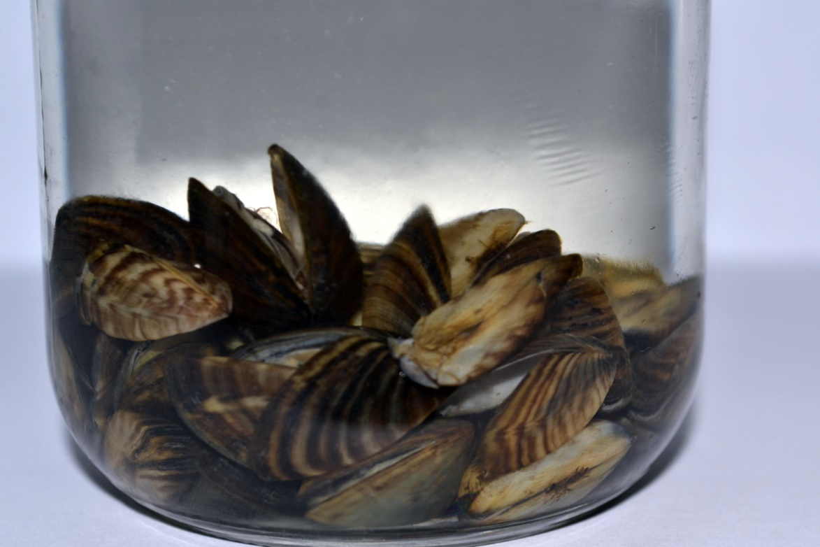 Zebra mussels in a container. Credit: Manitoba Department of Conservation and Stewardship.