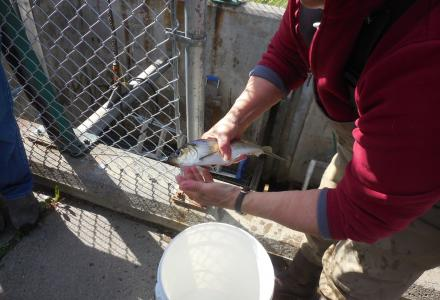 Water Matters - An Alewife from the St. Croix River counted in June 2016