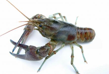 Water Matters - Rusty Crayfish
