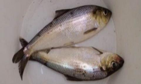 Picture of two alewives in a bucket