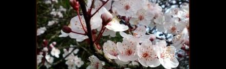 Water Matters - Cherry Blossoms on a cherry tree in Vancouver