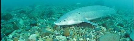 Lake sturgeon on a spawning reef