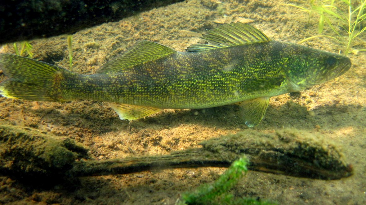 walleye souris